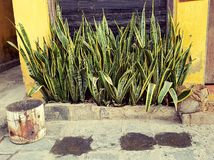 Sansevieria trifasciata plants in Vietnam. A flowerbed with Sansevieria trifasciata, also known as nake plant, mother-in-law's tongue, and viper's bowstring hemp Stock Photo
