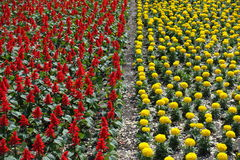 Flowerbed with  scarlet sage and yellow marigold Royalty Free Stock Photography