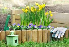 Daffodils in flowerbed. Flowerbed in spring border by wood in garden stock photography