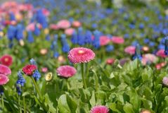 Spring flowers, beautiful pink daisies and blue mascara royalty free stock photos