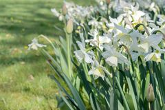 Flowerbed with white daffodils Royalty Free Stock Photography