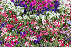 Flowerbed with striped petunia Royalty Free Stock Photo