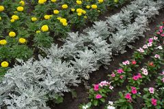 Flowerbed with strips of silver ragwort, marigold and rosy periwinkle Royalty Free Stock Photo