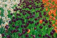 Flowerbed tulipany zdjęcie royalty free