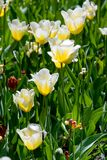 Flowerbed with tulips. Flowerbed of beautiful white tulips Stock Image