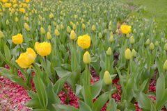 Flowerbed with tulips. In city park Royalty Free Stock Photography