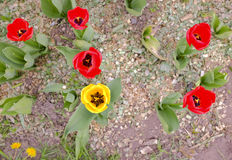 Flowerbed with tulips. In city park Royalty Free Stock Images