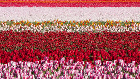 Flowerbed of tulips of different colors Royalty Free Stock Photos