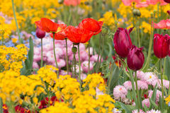 Flowerbed with tulips and poppy flowers Royalty Free Stock Photography