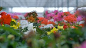 Beautiful flowers of different colours in a big greenhouse. 4K. Flowerbed with various beautiful flowers of different colours in a greenhouse stock footage