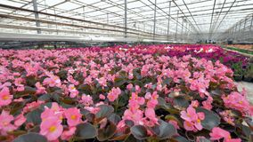 Various beautiful flowers of different colours in a greenhouse. 4K. Flowerbed with various beautiful flowers of different colours in a greenhouse stock video footage