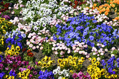Flowerbed of violas. Background of flowerbed of multicolor violas Royalty Free Stock Photos