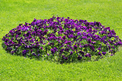 Flowerbed of violet petunia flowers on green grass Stock Photo