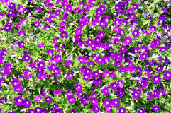 Flowerbed with violet petunias Royalty Free Stock Images