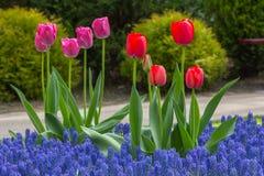 Flowerbed w De Keukenhof Fotografia Royalty Free