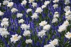 Flowerbed w De Keukenhof Fotografia Stock