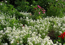 Flowerbed. Of white blooming flowers Stock Photo