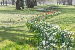 Flowerbed with white daffodils Stock Photo