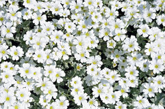 Flowerbed of white dianthus flowers Royalty Free Stock Photo