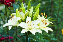 Flowerbed. White lily on the flowerbed, close up Stock Images