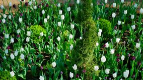 Flowerbed with white and purple tulips on the yard.  stock video