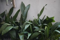Free Flowerbed With Aspidistra Elatior Plants Royalty Free Stock Photography - 123468787