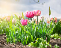 Free Flowerbed With Pink Tulips Over Sky Royalty Free Stock Photo - 47779435