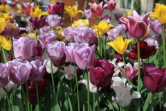 Flowerbed of wonderful different Spring Tulips Stock Photos