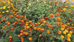 Flowerbed with wonderful flowers. Flowerbed with various wonderful flowers. colorful flower stock video