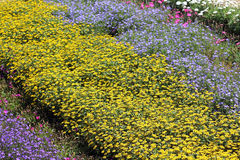 A flowerbed with yellow and blue summer flowers Royalty Free Stock Photo