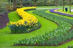 Flowerbed with yellow daffodil flowers blooming in spring Royalty Free Stock Photography