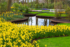 Flowerbed with yellow daffodil flowers blooming in spring Royalty Free Stock Image