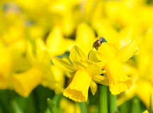 Flowerbed with yellow daffodil flowers Royalty Free Stock Photo