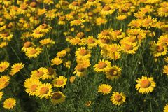 Flowerbed of Yellow Daisies in the Summertime. Yellow centered Rudbeckia blooming in late summer royalty free stock images