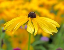 Flowerbed with yellow echinacea flowers. Selective focus stock photography