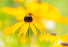 Flowerbed with yellow echinacea flowers. Selective focus Royalty Free Stock Photo