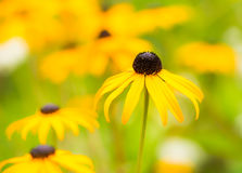 Flowerbed with yellow echinacea flowers. Selective focus Stock Photos