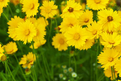 Flowerbed with yellow flowers Royalty Free Stock Photo
