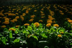 A flowerbed of Yellow Flowers stock photo