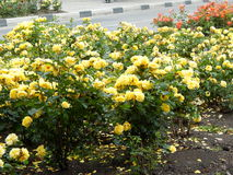 Flowerbed with yellow flowers. Summer bright colors. Flowerbed along the road Stock Images
