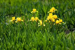 Flowerbed of yellow irises Stock Photography