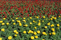 Flowerbed with yellow marigolds and scarlet sage. Flower bed with yellow marigolds and scarlet sage royalty free stock photography