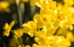 Miniature daffodils. A flowerbed with yellow miniature daffodils in the morning light royalty free stock photos