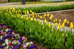 Flowerbed with yellow tulips Stock Images