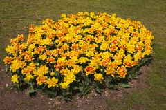 Flowerbed of yellow tulips with red shades in the garden Royalty Free Stock Images