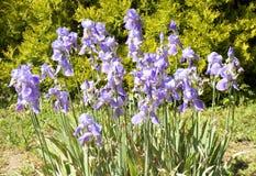 Flowerbed z błękitnymi irysami Fotografia Royalty Free
