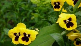 Flowerbed z pansies żółty colour Delikatnego wiatru chodzenie przez kwiatów Wideo HD mknąca statyczna kamera zbiory wideo