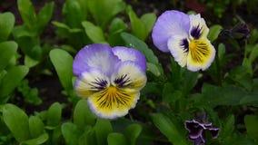Flowerbed z pansies różny colour Delikatnego wiatru chodzenie przez pola z fiołkami kwitnie Wideo HD strzelanina zbiory