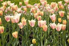 Flowerbed z różowymi tulipanami Zdjęcia Stock