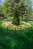 Flowerbed z tulipanami w ogródzie Obraz Royalty Free